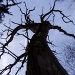 strom krkavců